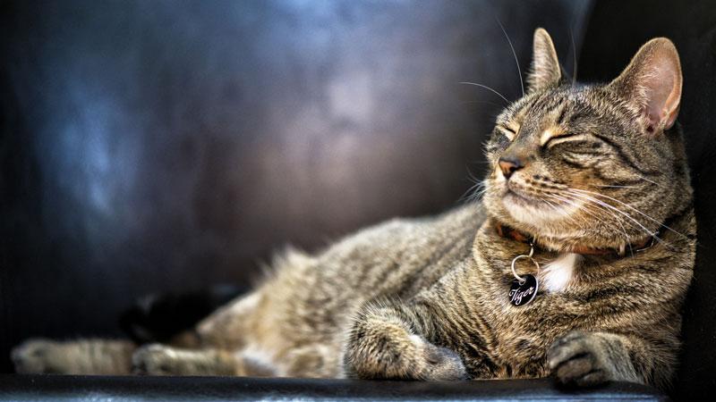L'hyperthyroïdie touche aussi les chats