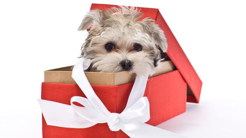 Chiot dans une boîte cadeau