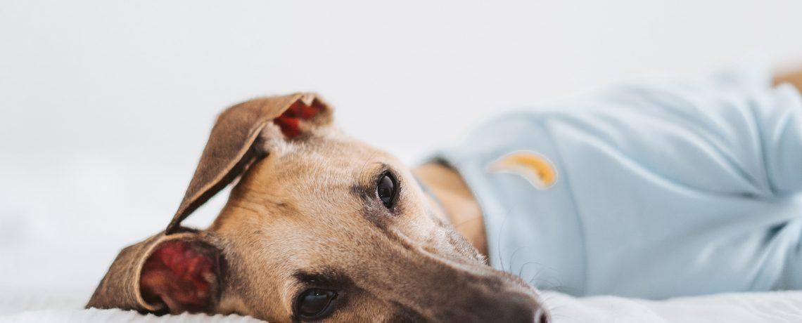 arthrite chien